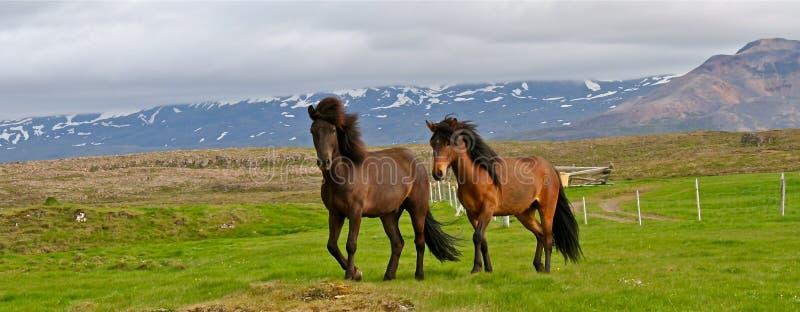 Paarden in IJsland stock afbeelding