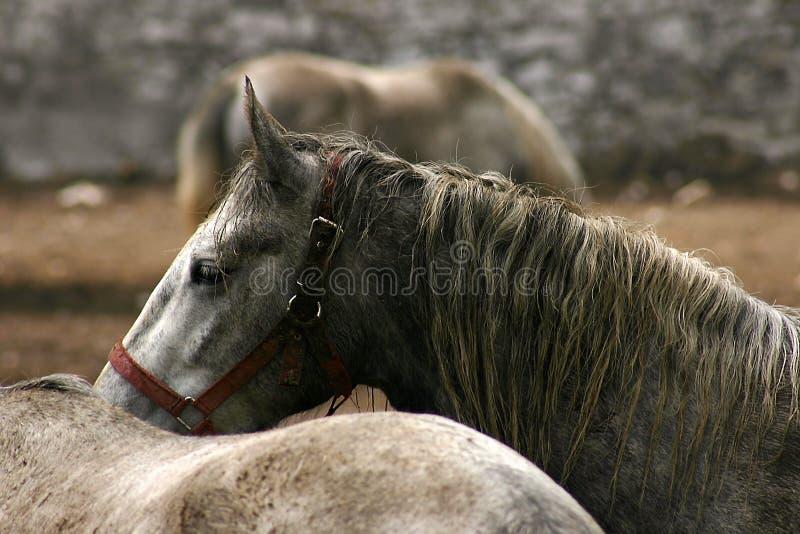 Paarden in Lipica stock fotografie