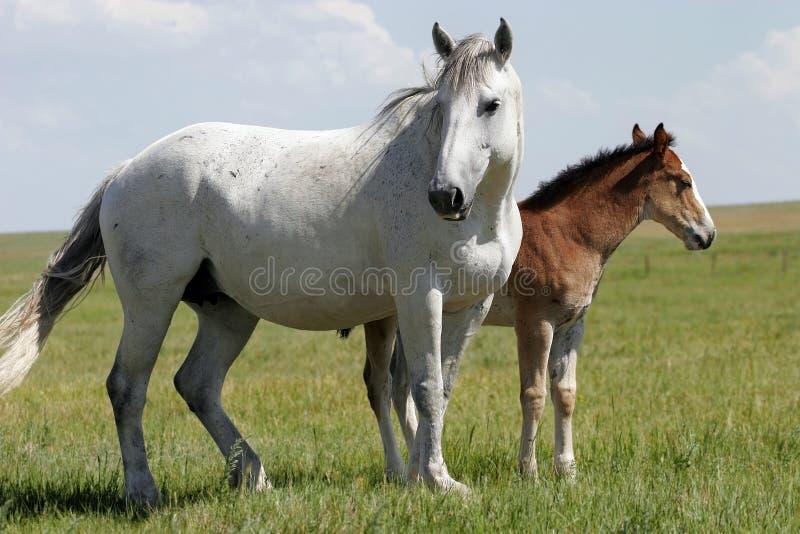 Paarden - Merrie en Baby (wijd) stock afbeelding