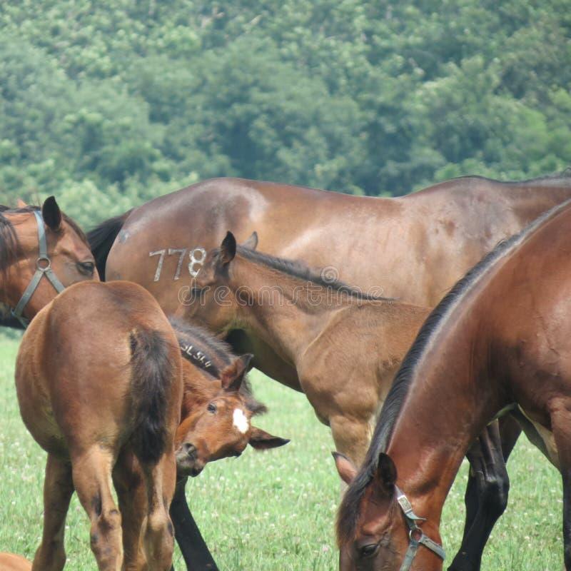 Paarden, merries en veulennen in het weiland royalty-vrije stock fotografie