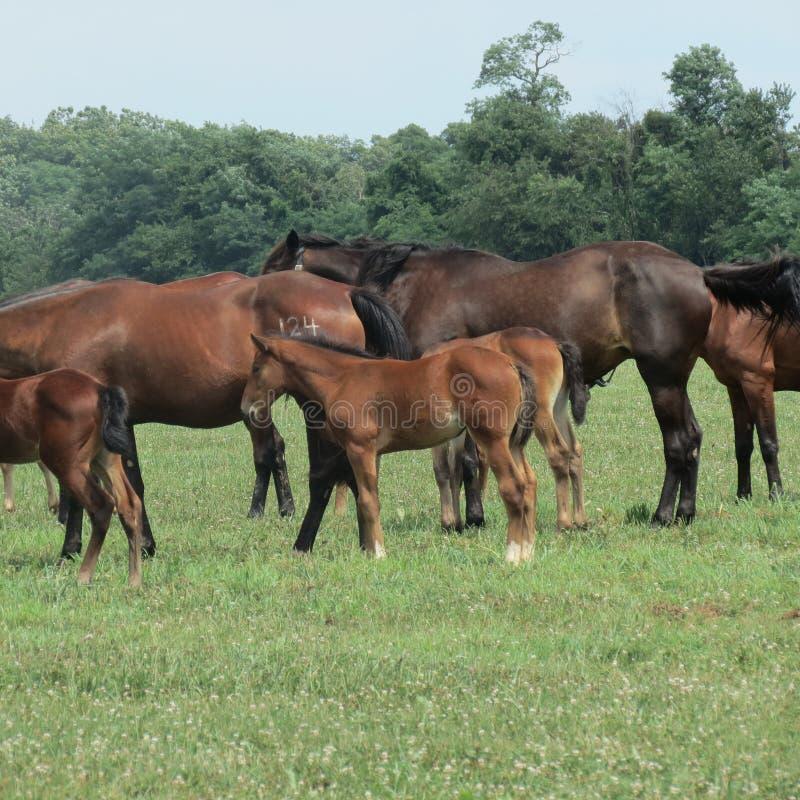 Paarden, merries en veulennen in het weiland royalty-vrije stock foto's