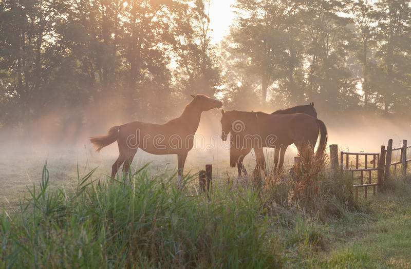 Paarden in mist bij zonsopgang stock foto's