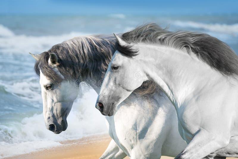 Paarden in oceaan stock foto's