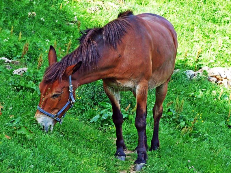 Paarden op de weilanden van de hellingen van Alpstein-bergketen stock fotografie