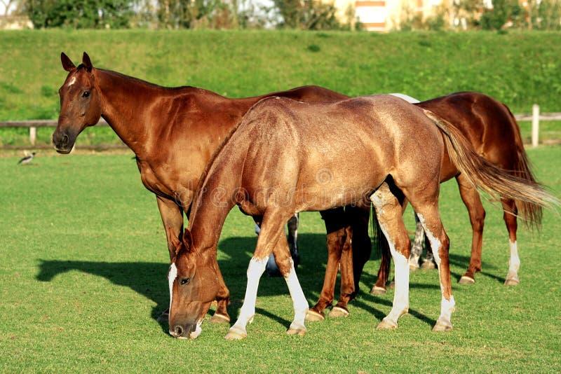 Paarden op een gebied royalty-vrije stock fotografie