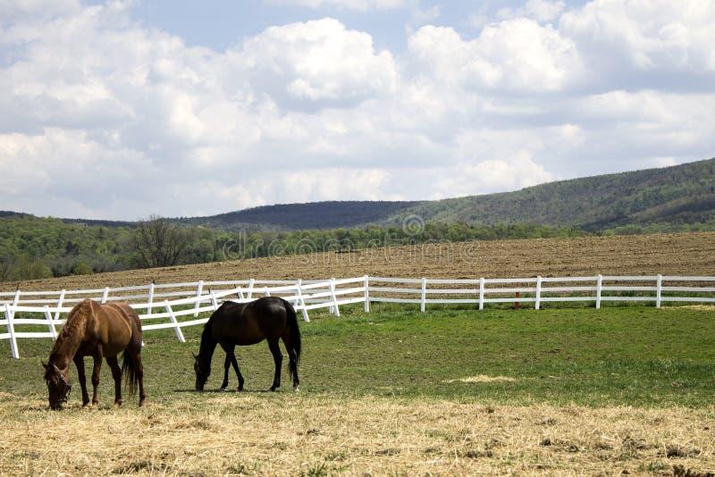 Paarden op een gebied stock afbeeldingen