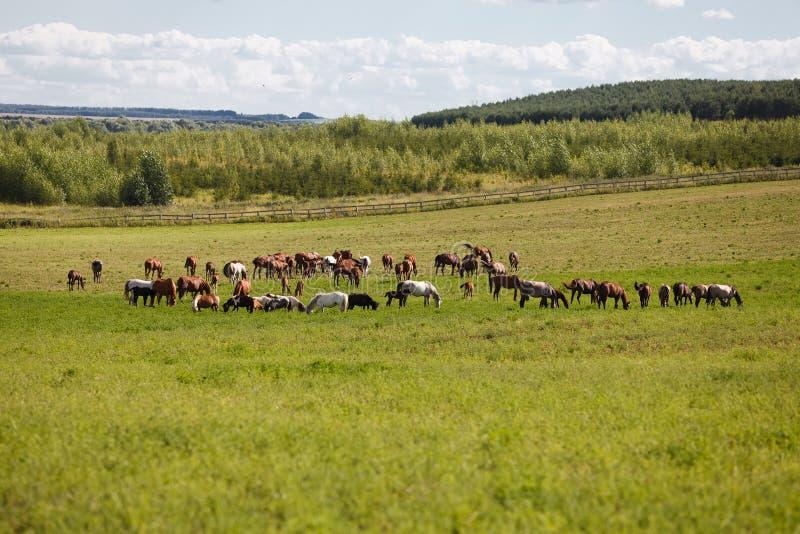 Paarden op een groen gebied royalty-vrije stock afbeeldingen
