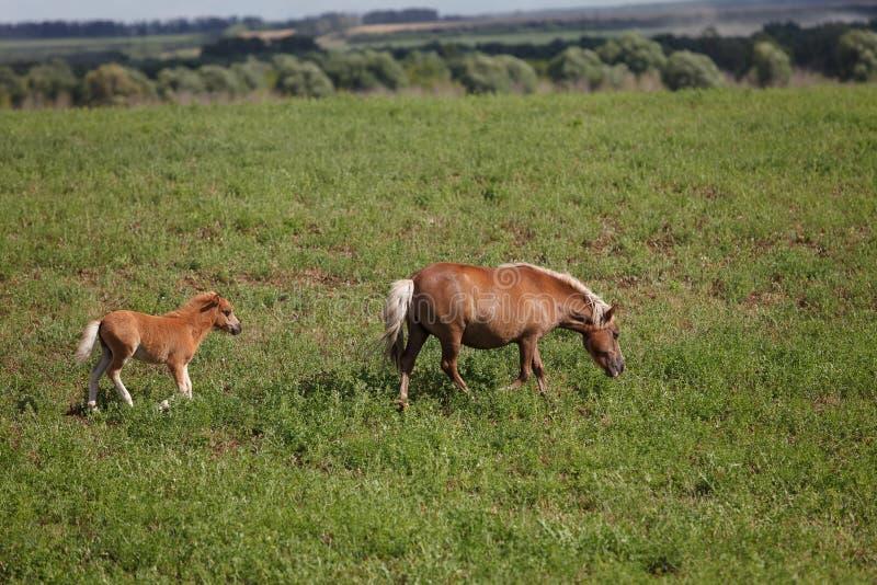 Paarden op een groen gebied/Merrie en Haar Veulen stock foto's