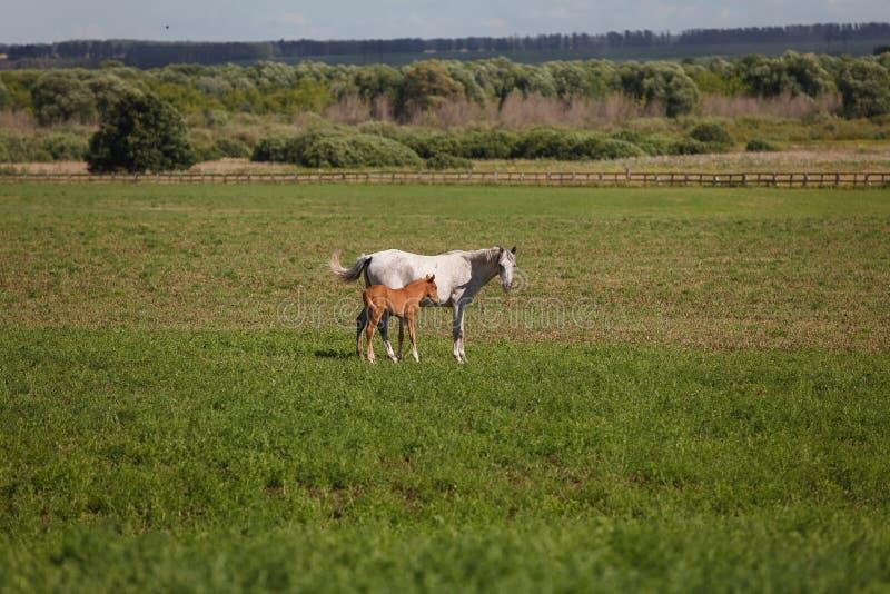 Paarden op een groen gebied/Merrie en Haar Veulen royalty-vrije stock afbeeldingen