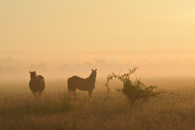 Paarden op een mistig gebied stock foto