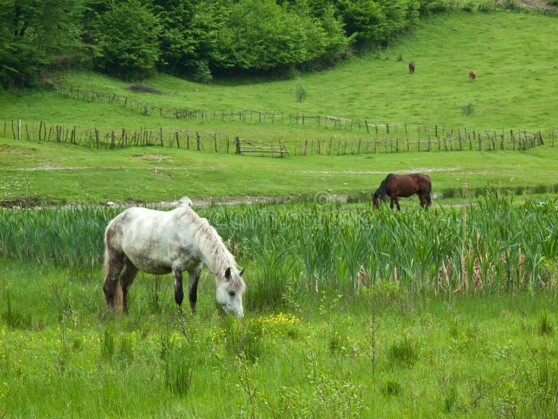 Paarden op gebied royalty-vrije stock afbeelding