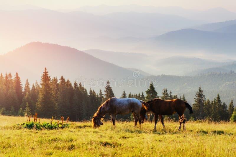 Paarden, op gras bij de Karpatische Bergen van het hooglandweiland in stralen van zonsondergang stock foto's