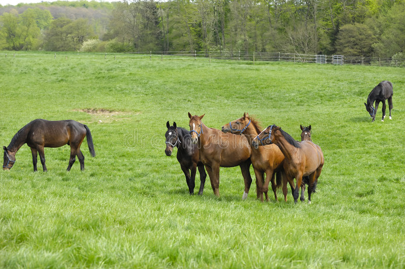 Paarden op groen gebied royalty-vrije stock foto's