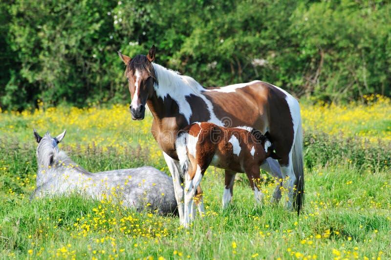 Paarden op het gazon royalty-vrije stock foto's