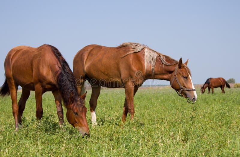 Paarden op het gebied stock fotografie