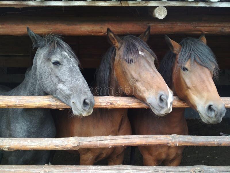 Paarden op het landbouwbedrijf royalty-vrije stock afbeeldingen