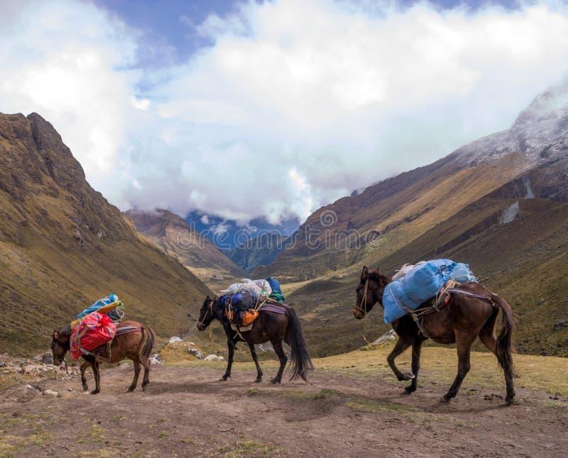 Paarden op salcantay sleep in Peru bij col. royalty-vrije stock foto's