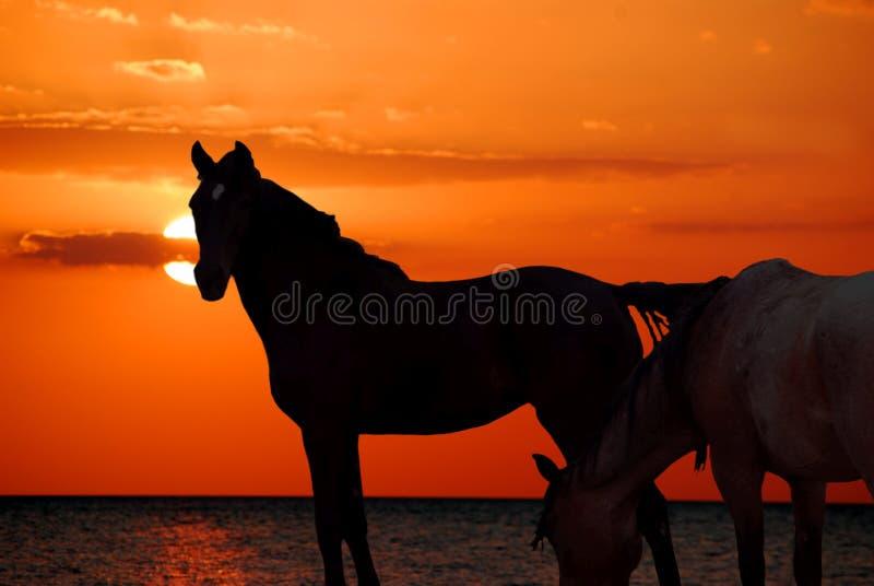 Paarden op Strand stock afbeelding