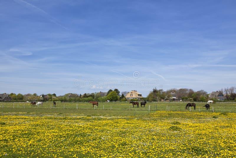Paarden op weide buiten het dorp van Keitum, Sylt stock afbeeldingen