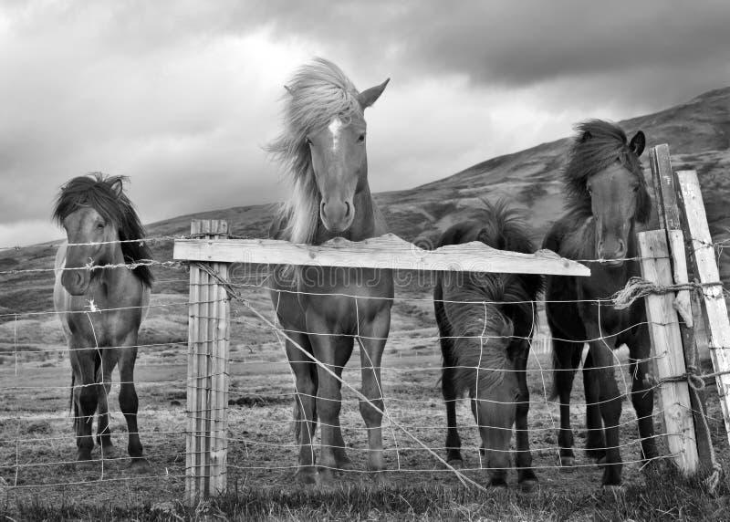 Paarden op winderige dag royalty-vrije stock foto