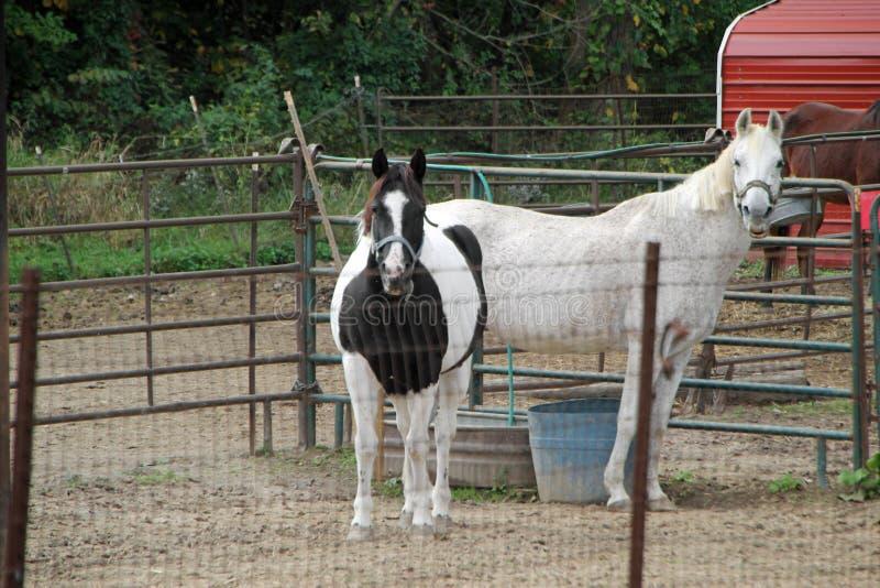 Paarden in pen royalty-vrije stock afbeelding
