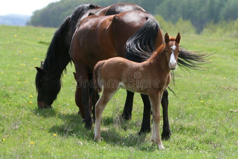 Paarden in platteland stock foto