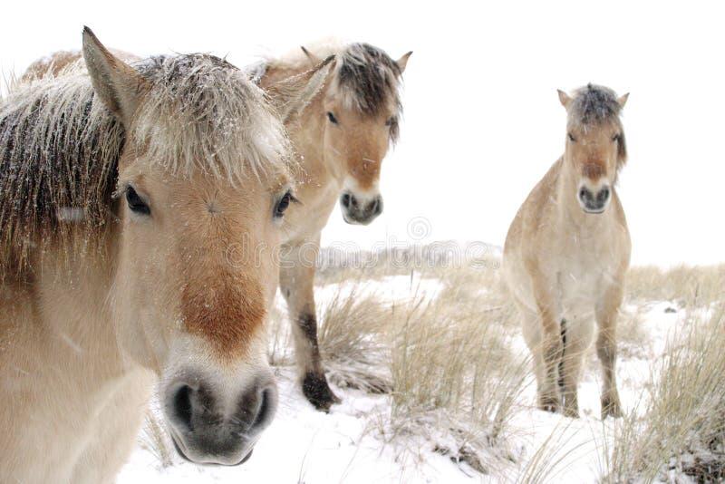Paarden in sneeuw royalty-vrije stock fotografie