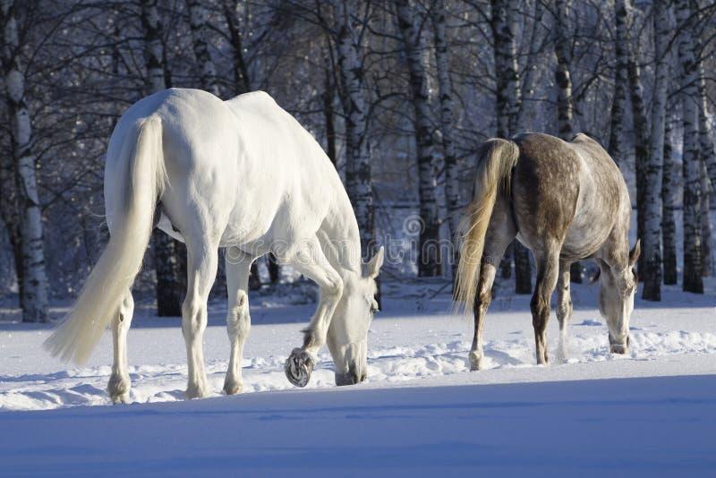 Paarden in sneeuwbos stock afbeelding
