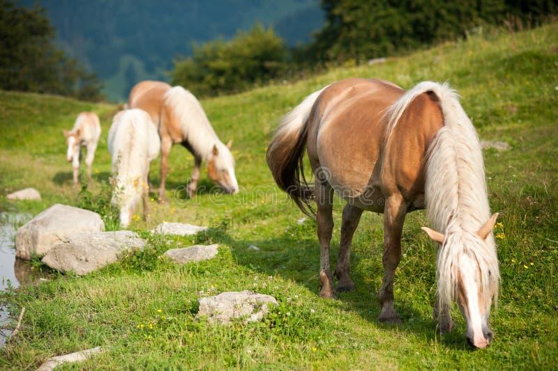 Paardenfamilie royalty-vrije stock afbeelding