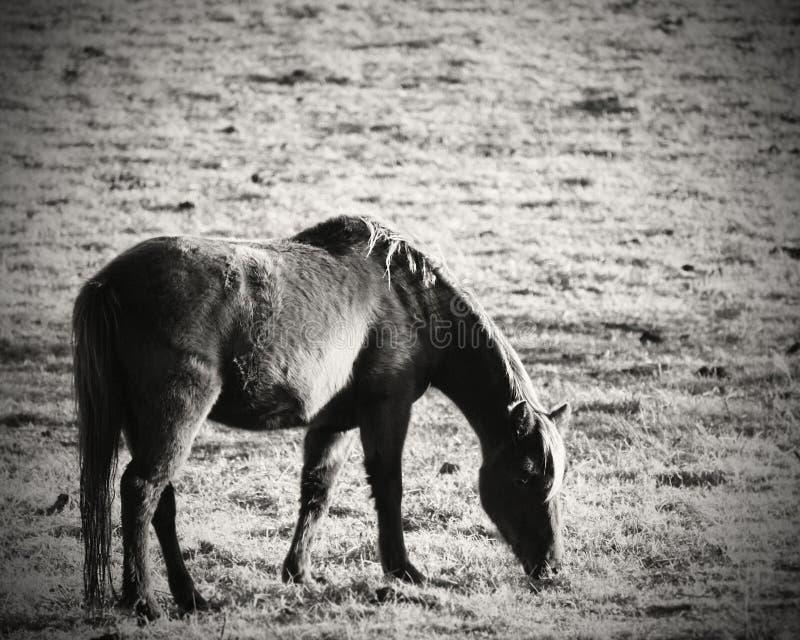 Paardenschoonheid stock afbeelding