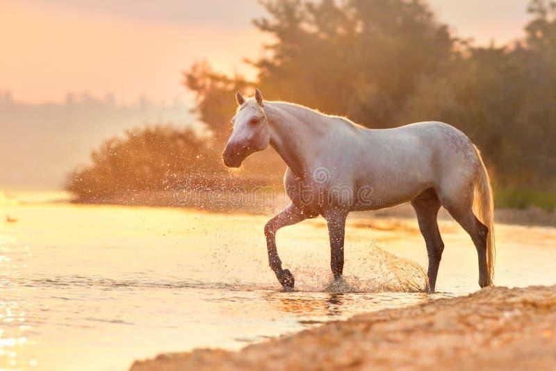 Paardgang in water stock foto's