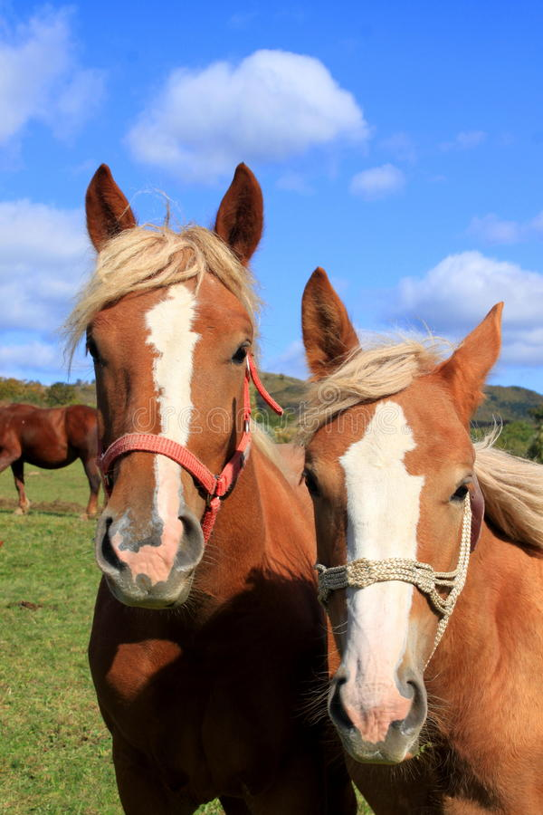 Paardhoofden stock foto's