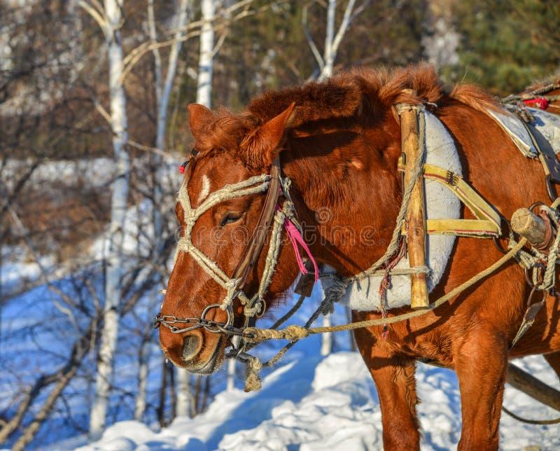 Paardkar die op sneeuwweg lopen royalty-vrije stock foto's