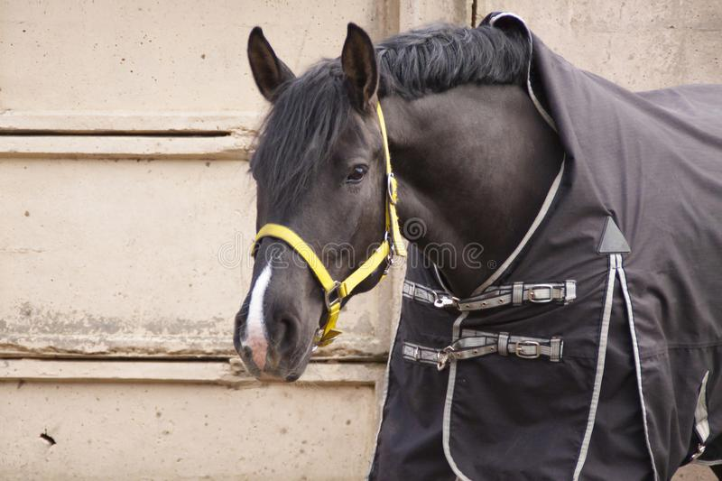 Paardkraai in een deken op een grijze concrete muur royalty-vrije stock afbeelding