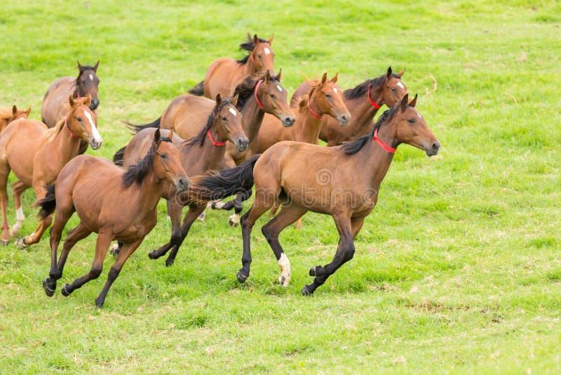 Paardkudde het lopen royalty-vrije stock afbeelding