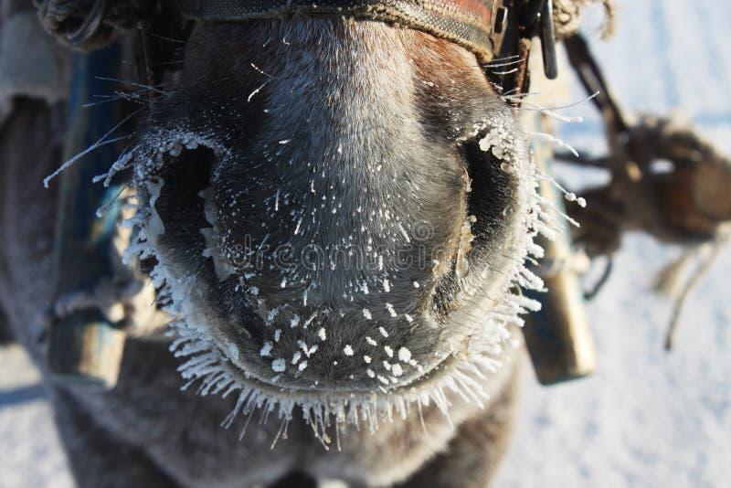 Paardneus royalty-vrije stock foto's