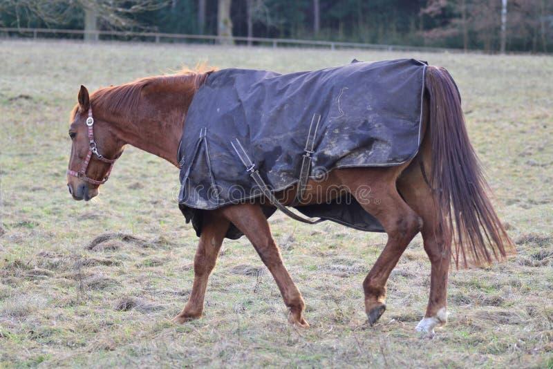 Paardportret, het bruine paard lopen royalty-vrije stock foto's