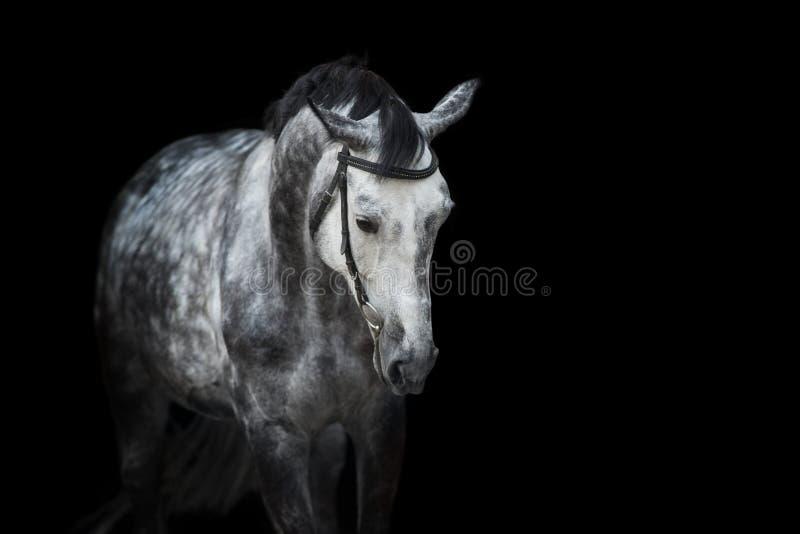 Paardportret op zwarte stock foto