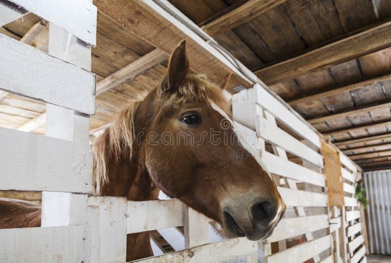 Paardsolovaya in de boxen in de stal stock afbeeldingen