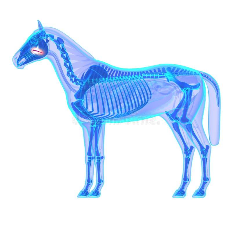 Paardzacht gehemelte - de Anatomie van Paardequus - op wit wordt geïsoleerd dat vector illustratie