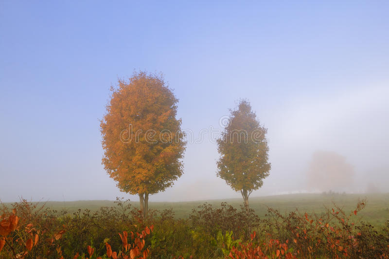 Paare Ahornbäume im Herbstnebel. stockfotos