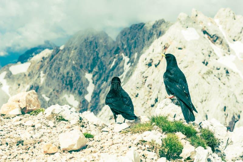 Paare Alpendohlen stockbild