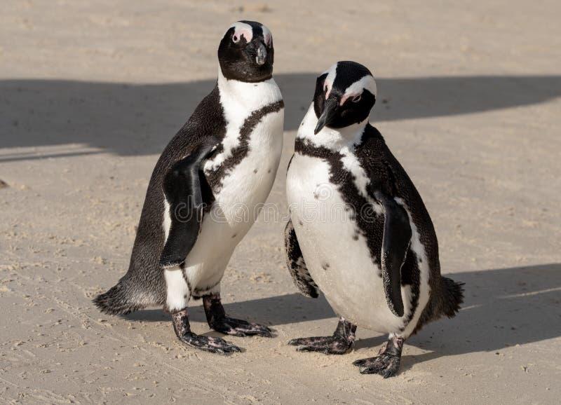 Paare der afrikanischen Pinguine auf dem Sand an den Flusssteinen setzen in Cape Town, Südafrika auf den Strand stockfotos