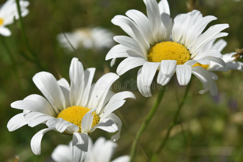 Paare der blühenden gemeinen Gänseblümchen im hohen Gras stockbild