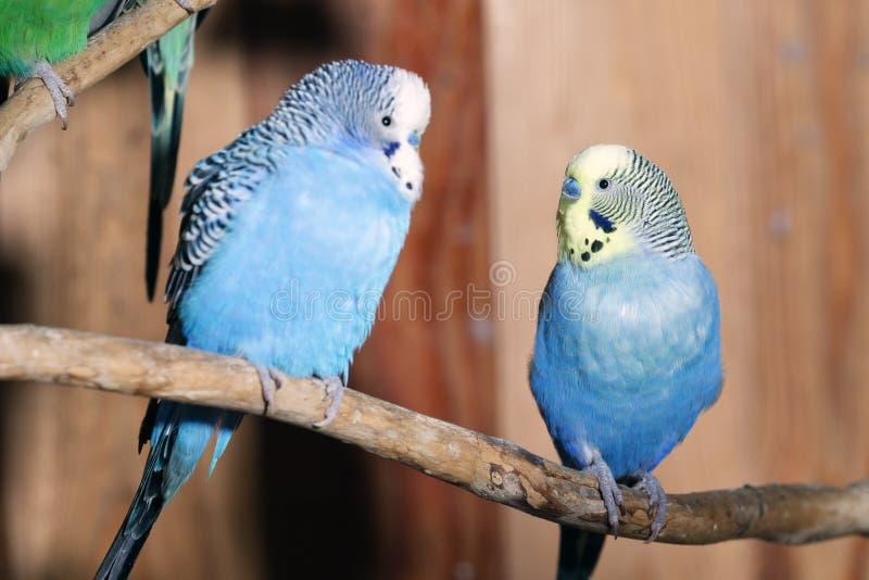 Paare der blauen Budgerigars stockfoto