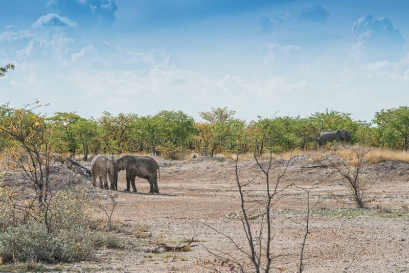 Paare der Elefantdatierung Liebe in Afrika stockbilder