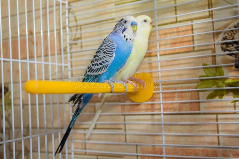 Paare der gewellten Papageien in einem Käfig lizenzfreie stockbilder