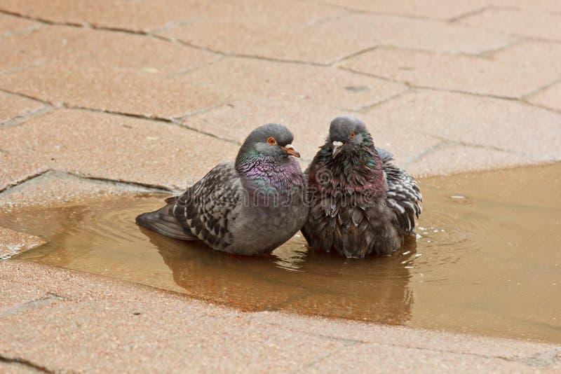 Paare der grauen Tauben, die in einer Pf?tze auf der Stra?e schwimmen V?gel baden im Wasser auf Pflastersteinen im Regen Liebe, F lizenzfreie stockfotos