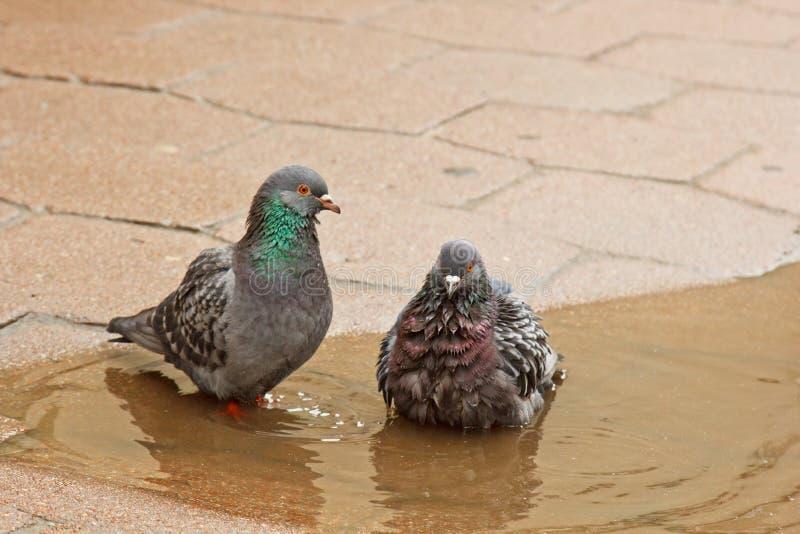 Paare der grauen Tauben, die in einer Pf?tze auf der Stra?e schwimmen V?gel baden im Wasser auf Pflastersteinen im Regen Liebe, F lizenzfreie stockfotografie