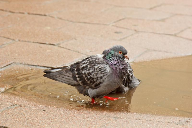 Paare der grauen Tauben, die in einer Pf?tze auf der Stra?e schwimmen V?gel baden im Wasser auf Pflastersteinen im Regen Liebe, F lizenzfreies stockfoto